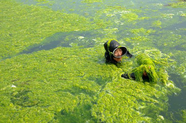 algae a green alternative essay
