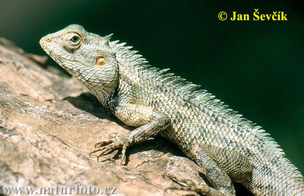 12 Changeable Lizard Calotes Versicolor 2